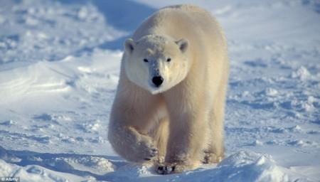 1409435424675_Image_galleryImage_Polar_bear_Ursus_maritimu 3